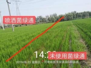 菌绿通在水稻上使用反馈