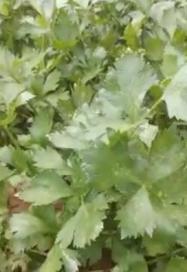 菌绿通在芹菜效果反馈