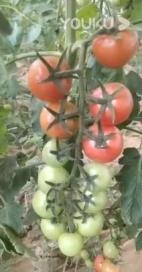 菌绿通在番茄效果反馈