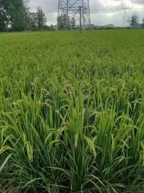 菌绿通正阳水稻反馈