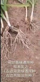 菌绿通在蒜苗效果反馈