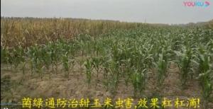 菌绿通在玉米效果反馈