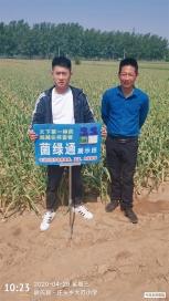 菌绿通在尉氏县庄头乡种子站大蒜田使用效果反馈