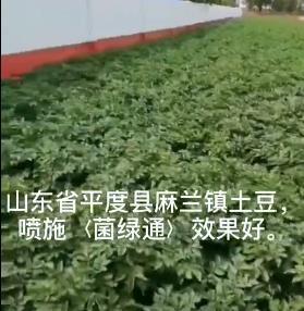 山东麻兰镇土豆