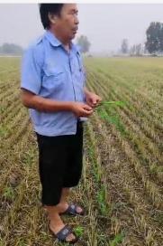 菌绿通在西华县玉米田效果反馈