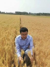 西华县农户用〈菌绿绿)小麦拌种抗旱效果明显
