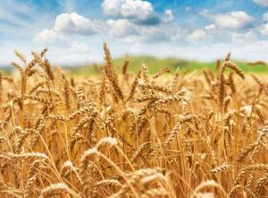 小麦使用拌种剂防治的主要病症有什么呢?