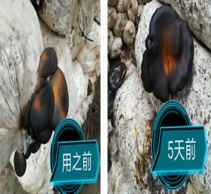 菌绿通在平菇上的效果表现