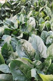 菌绿通在菠菜上的效果表现